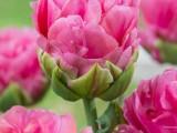 郁金香种球批发价格