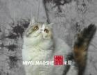 出售高品质加菲猫