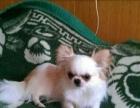 兰州纯种吉娃娃犬幼犬,成犬在这里