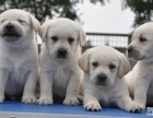 上海哪里有免费领养宠物狗 自家大狗生的拉布拉多宝赠送公母都有