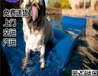 自家繁殖的纯种巴哥犬 保养活 送货上门 可看狗父母