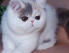 专业CFA认证猫舍 出售英短美短加菲金吉拉布偶暹罗