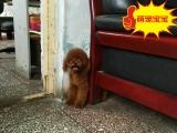 泰迪犬大概多少钱,泰迪犬哪里出售
