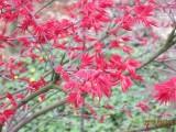 红叶妖娆婀娜多姿的园中极品日本红枫苗