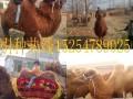 骆驼价格 骆驼多少钱一头