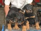 上海本地犬舍繁殖纯种宠物狗,罗威纳,质保三个月