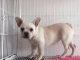 出售双血统聪明法牛 红黑白奶油色法国斗牛犬幼犬