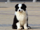 大型犬舍繁殖高品质边境牧羊犬健康有保证欢迎上门