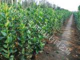 石家庄北海道黄杨 哪里能买到品种好的北海道黄杨