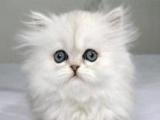 金吉拉猫免费转让