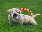 出售纯种拉布拉多犬幼犬导盲犬赛级品质神犬小七