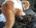 上海广州深圳北京折耳猫买猫 搜:双飞猫