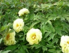 洛阳弘顺牡丹种植开发公司售系列牡丹及节日用催花牡丹