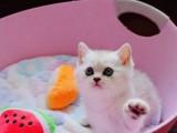 东莞英短银渐层猫宝宝寻找有爱心有责任心的铲屎官