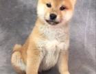 东莞那里有卖高品质柴犬 基地直销 保纯种健康 欢迎实地挑选