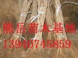 榛子苗价格,吉林大榛子苗,新疆大榛子树