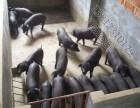 黑猪小猪苗价格多少钱