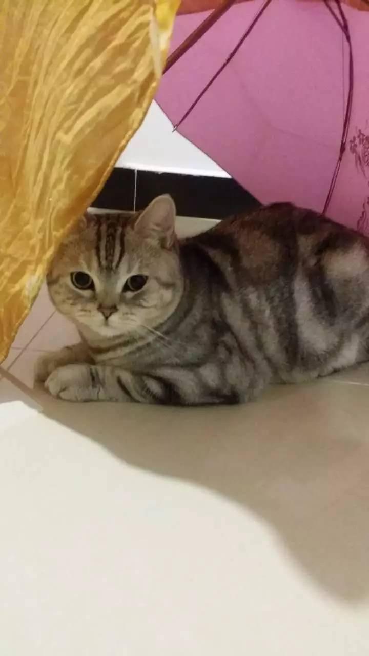 超级可爱的银虎斑妹妹_北京宠物猫_北京列表网
