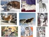 上海经典三把火双蓝眼 堪称最帅名犬 高品质哈士奇幼犬出售