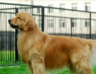 自家养纯种小金毛幼犬找新家 保纯种保健康