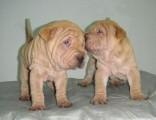 出售纯种沙皮幼犬 憨厚褶皮老虎狗 短毛活体沙皮老虎