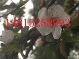 苏州别墅绿化工程 造型树景观树古桩基地 苏州梅花树