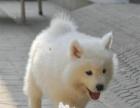纯种萨摩耶公母幼犬天使的微笑银狐的容貌包健康