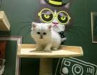 广州哪里有猫舍卖金吉拉的广州猫舍金吉拉价格