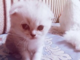 出售英短猫咪自家培育