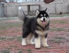 西宁纯种阿拉斯加价格 西宁哪里能买到纯种阿拉斯加犬