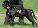 纯种卡斯罗出售 卡斯罗幼犬 质量好 健康保证