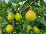 金華蘭溪市梨樹苗供應服務