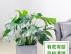 【镇江宏飞园艺】龟背竹大盆栽净化空气送货上门