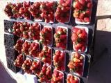 草莓十元一盒一斤装