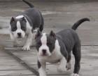 大庆哪里有卖比特犬 比特犬多少钱 比特犬图片