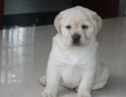 赛级纯种拉布拉多幼犬 大骨量 优秀导盲犬 签订