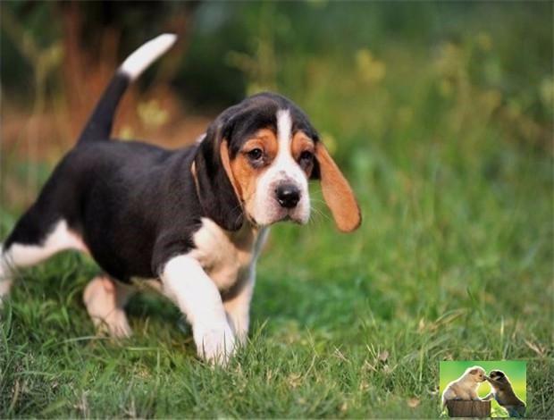短毛纯种比格犬 小型伴侣犬比格幼犬 高智商不掉毛