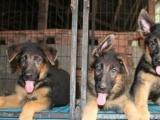 佛山地区哪里有卖纯种德国牧羊犬幼犬纯种德牧什么价