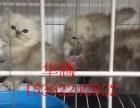 深圳哪里有卖金吉拉小猫价格多少纯种金吉拉多少钱一只金吉拉价格