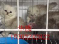 纯种金吉拉小猫咪价格多少东莞哪里有卖金吉拉多少钱一只