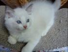 布偶 猫哪里有得卖 多少钱