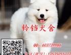 佛山在哪里有卖萨摩耶犬 佛山纯种萨摩耶幼犬一只价格多少