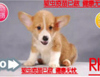 犬舍直销顶级精品柯基 双色三色小短腿 公母均有品质保