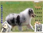 买纯种苏格兰牧羊犬 保纯保健康-可签订质保协议