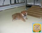 精品纯种柴犬,优选培育强健幼犬,确保健康