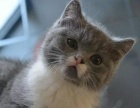 养殖场出售俄罗斯蓝猫欢迎爱猫咪人士速来挑选