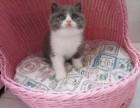 宠物猫 蓝猫