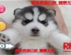 犬舍直销 高智萌宠哈士奇西伯利亚雪橇犬 冠军品质繁育 可上门