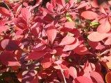 红叶小檗种植,物超所值的红叶小檗通泰花卉苗木供应