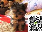 在哪里买纯种的约克夏幼犬 约克夏幼犬最低多少钱